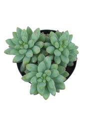 Sedeveria 'Yellow Humbert'- 3.5""