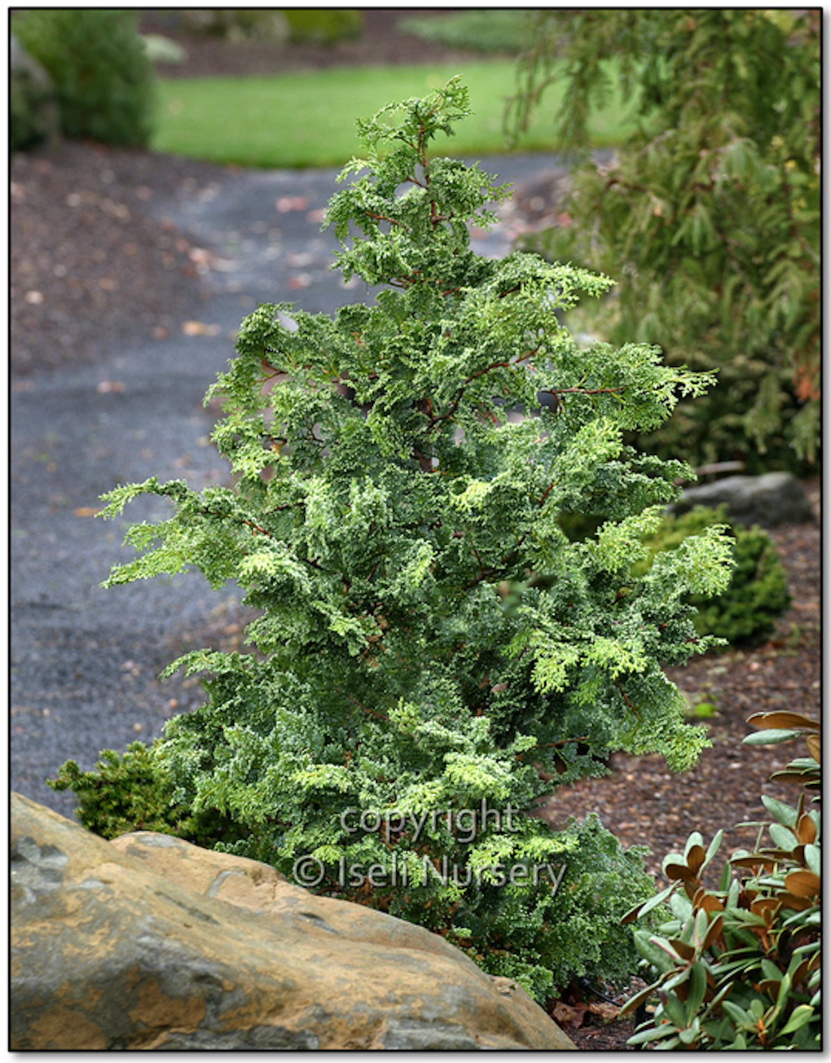 Gimborn Beauty Hinoki Cypress - Chamaecyparis obtusa 'Gimborn Beauty'