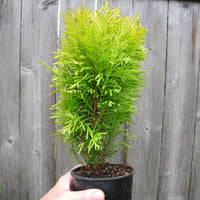 Autumn Moon Arborvitae - Thuja occidentalis 'Autumn Moon'