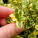 Variegated English Boxwood - Buxus sempervirens 'Variegata'