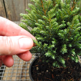 Blue Moon Sawara Cypress - Chameacyparis pisifera 'Blue Moon'