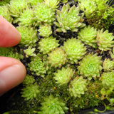 TINY! Cobweb Hens and Chicks - Sempervivum arachnoideum