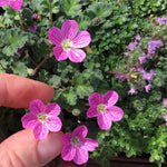 Bishop's Form Cranesbill - Erodium x 'Bishop's Form'
