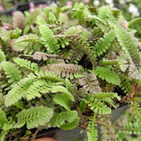New Zealand Buttons - Leptinella squalida 'New Zealand'
