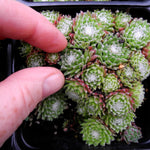 Cobweb Hens and Chicks - Sempervivum arachnoideum