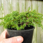 Green Carpet Juniper - Juniperus communis 'Green Carpet'