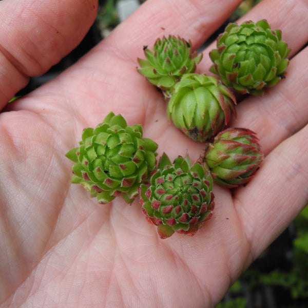 Baby Hens and Chicks Starts - Sempervivum tectorum