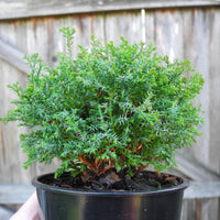 Little Charmer Dwarf Hinoki Cypress - Chameacyparis obtusa 'Little Charmer'