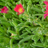 Jewel of Desert Garnet Ice Plant - Delosperma cooperi 'Jewel of Desert'