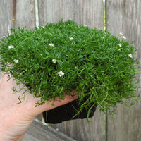 Irish Moss - Sagina subulata