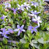 Blue Star Creeper - Pratia pendunculata 'County Park'