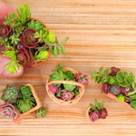 Miniature Garden Sedum Cuttings