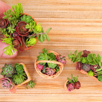 Miniature Garden Sedum Cuttings - NEW QUANTITY!
