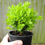 True Dwarf English Boxwood - Buxus sempervirens 'Suffruticosa'