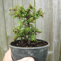 Thyme Leaf Cotoneaster - Cotoneaster microphylla 'Thymifolius'