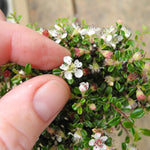 Thyme Leaf Cotoneaster on Standard - Cotoneaster microphylla 'Thymifolius'