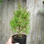 Top Point Dwarf White Cedar - Chamaecyparis thyoides 'Top Point'