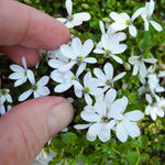 White Star Creeper - Pratia angulata