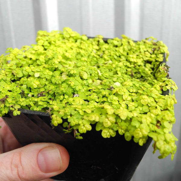 Golden Baby Tears - Angel Tears - Soleirolia soleirolii 'Aurea'
