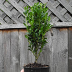 Sky Pencil Japanese Holly - Ilex crenata 'Sky Pencil'