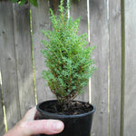 Miniature Juniper - Juniperus communis 'Miniature'