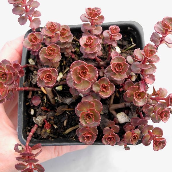 Red Carpet Sedum - Sedum spurium 'Red Carpet'