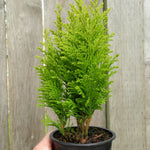 Ellwood's Empire Cypress - Chamaecyparis lawsoniana 'Ellwood's Empire'