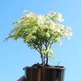 Moon Frost Canada Hemlock - Tsuga canadensis 'Moonfrost'