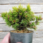 Dwarf Norway Spruce - Picea abies 'Mikulasovice'