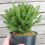 Red Tip Mountain Plum Pine - Podocarpus x 'Red Tip'