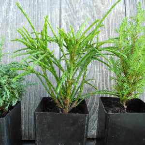 Mini Tree Set: Intermediate Cypress, Whipcord Cedar & Miniature Juniper