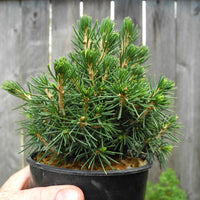Tompa Miniature Norway Spruce - Picea abies 'Tompa'