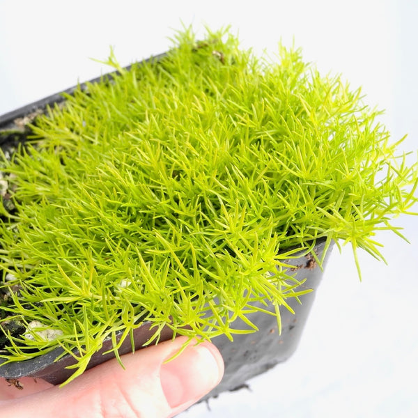 Scottish Moss - Sagina subulata 'Aurea'