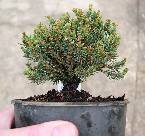 Blue Planet Miniature Spruce -  Picea glauca 'Blue Planet'