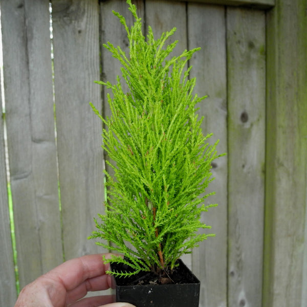 Tiny Lemon Cypress - Cupressus macrocarpa - Set of 2
