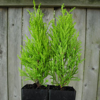 Tiny Wilma Goldcrest Monterey Lemon Cypress - Cupressus macrocarpa - Set of 2