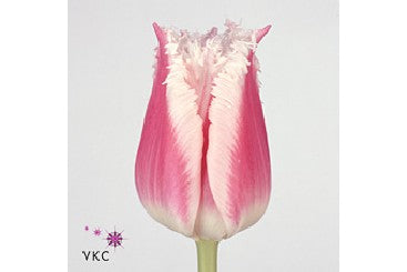 Tulip Novelty
