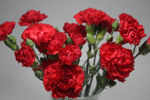 Miniature Carnation