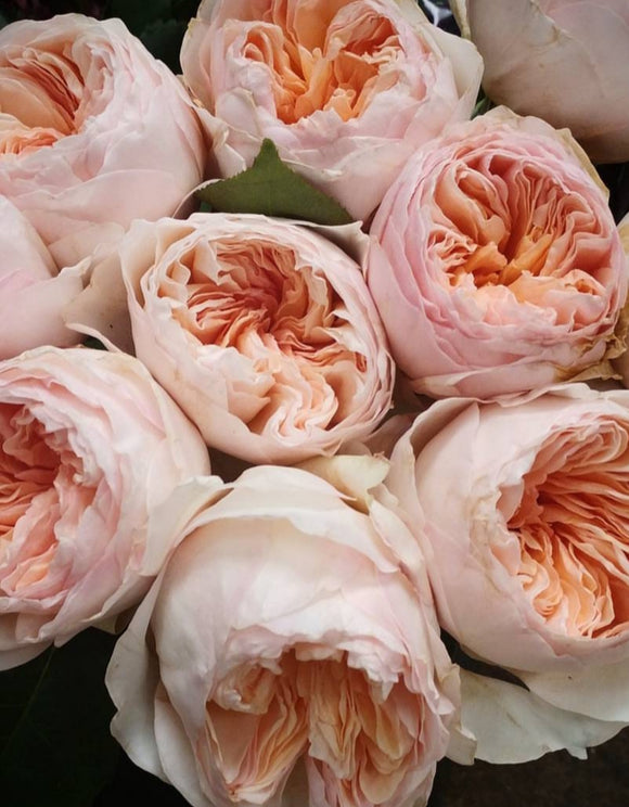 Box David Austin Peach Juliet Garden Rose (48 stems only $44.00 per dozen!!!)