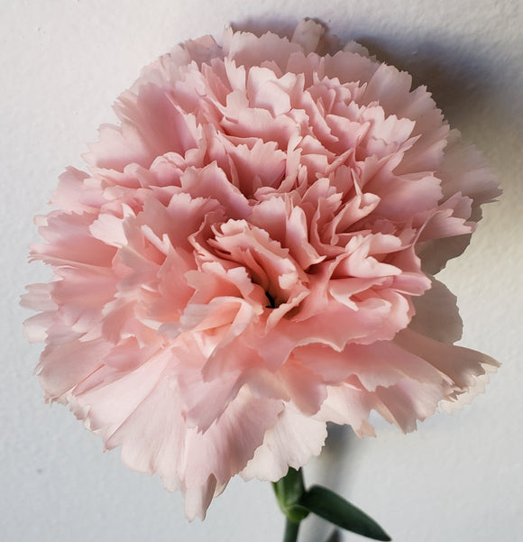 Carnation Light Pink