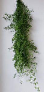 Sprengeri Garland ($6.25 per foot)