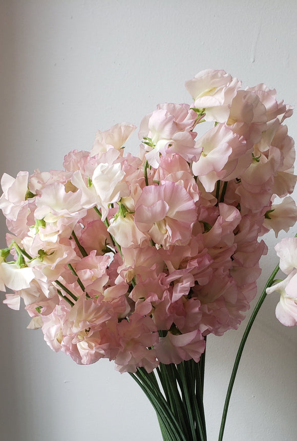Sweetpeas Light Pink