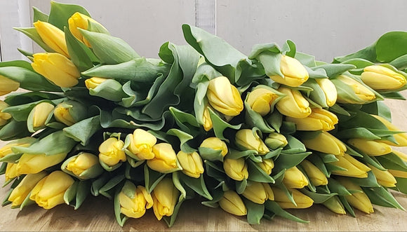 Tulip Yellow