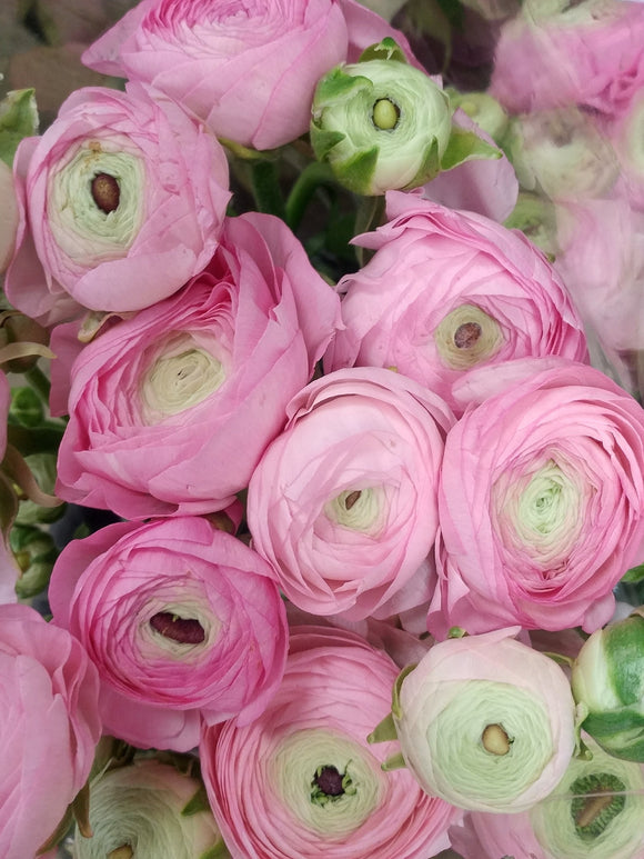 Ranunculus Light Pink