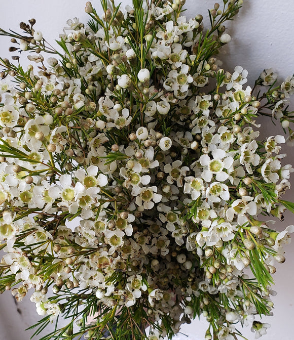 Waxflower White