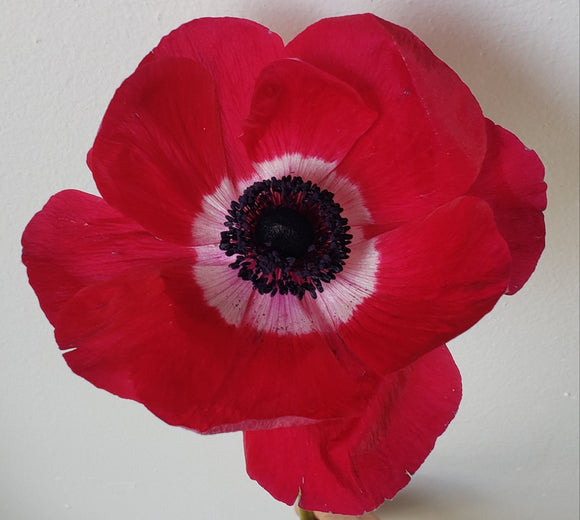 Anemone Red
