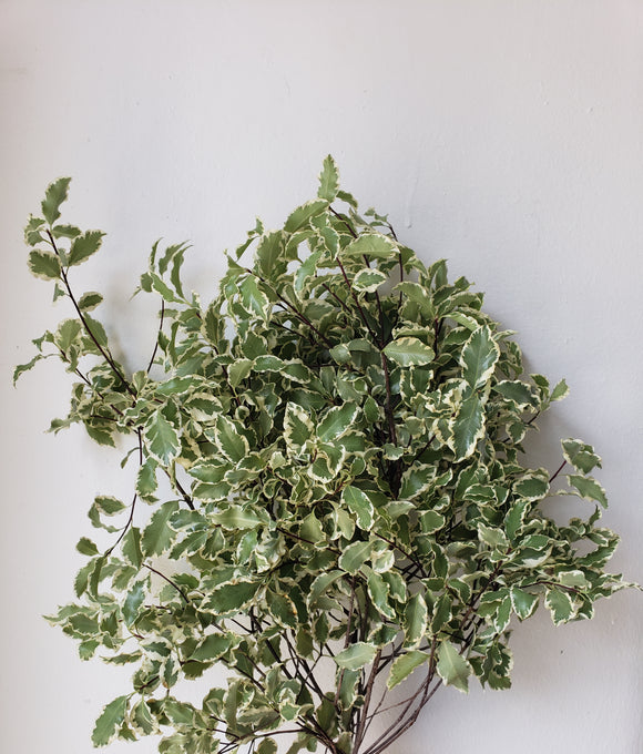 Pittosporum Italian Mini