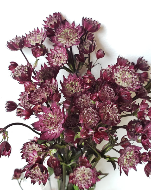 Astrantia Purple