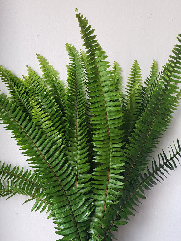 add boston fern