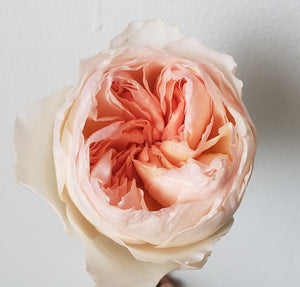 Valentine David Austin Peach Juliet Garden Rose